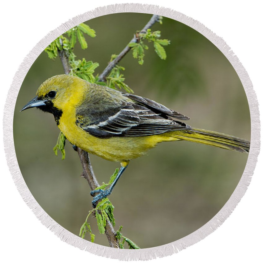 Orchard Oriole Round Beach Towel featuring the photograph Young Orchard Oriole by Anthony Mercieca