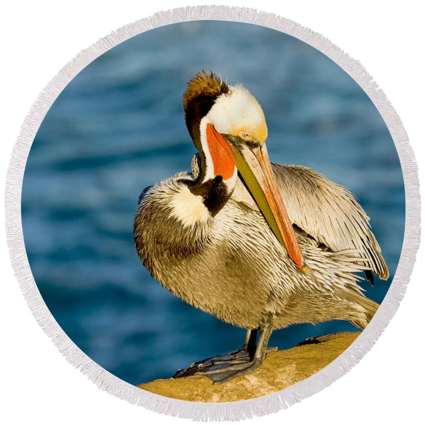 Preen Round Beach Towel featuring the photograph Brown Pelican Preening by Anthony Mercieca