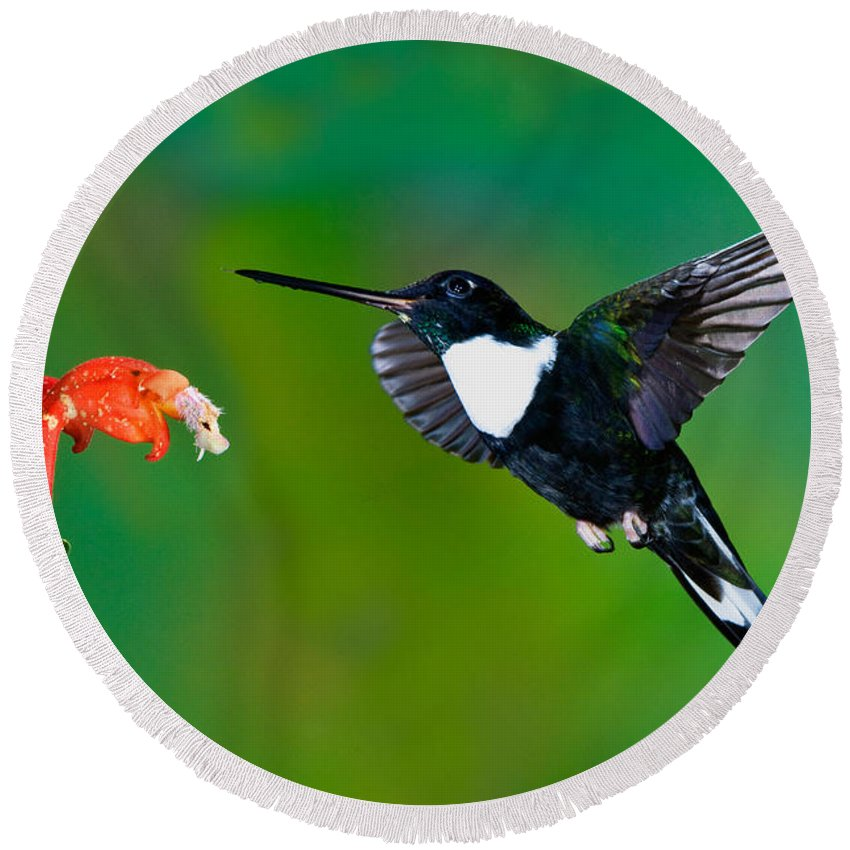 Animal Round Beach Towel featuring the photograph Collared Inca Hummngbird by Anthony Mercieca