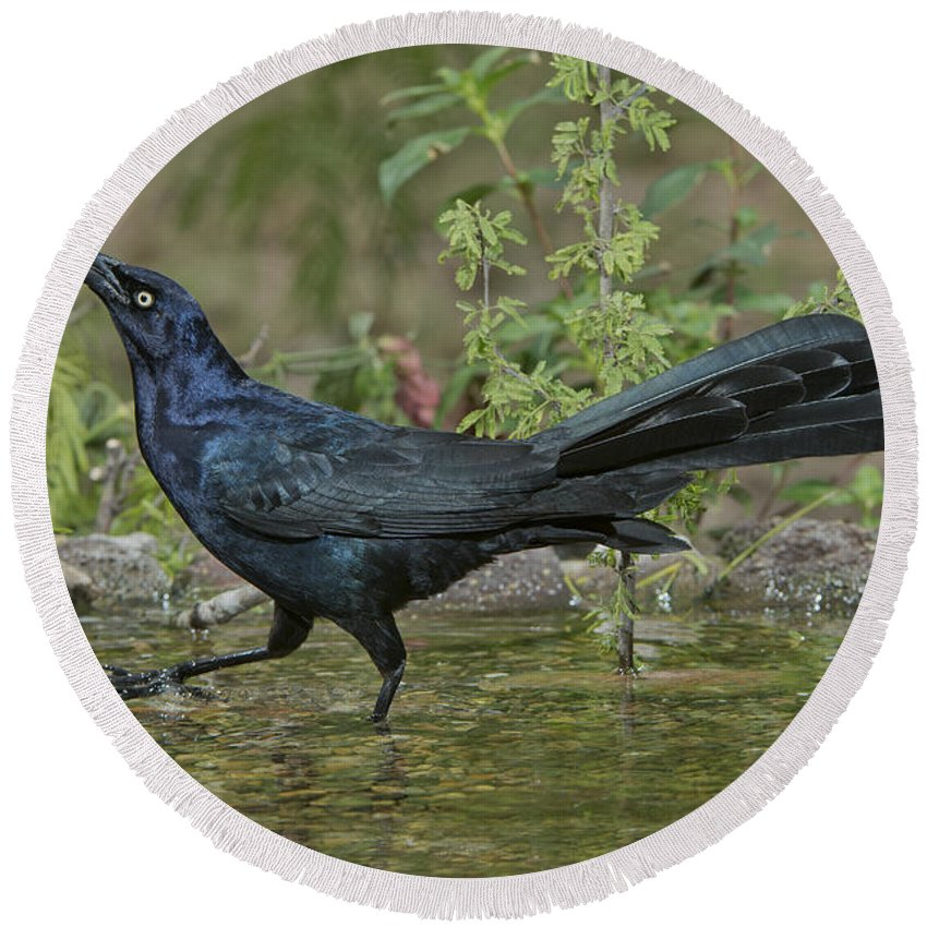 Great-tailed Grackle Round Beach Towel featuring the photograph Great-tailed Grackle by Anthony Mercieca