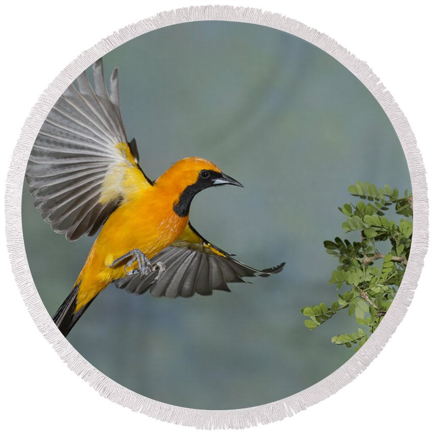 Hooded Oriole Round Beach Towel featuring the photograph Hooded Oriole by Anthony Mercieca