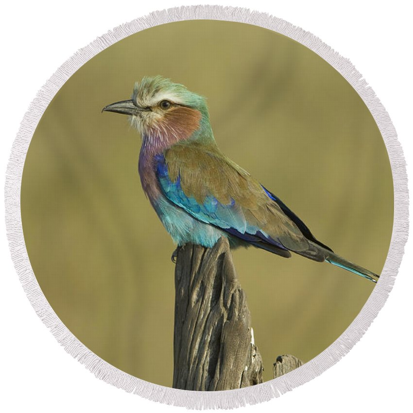 African Fauna Round Beach Towel featuring the photograph Lilac-breasted Roller by John Shaw