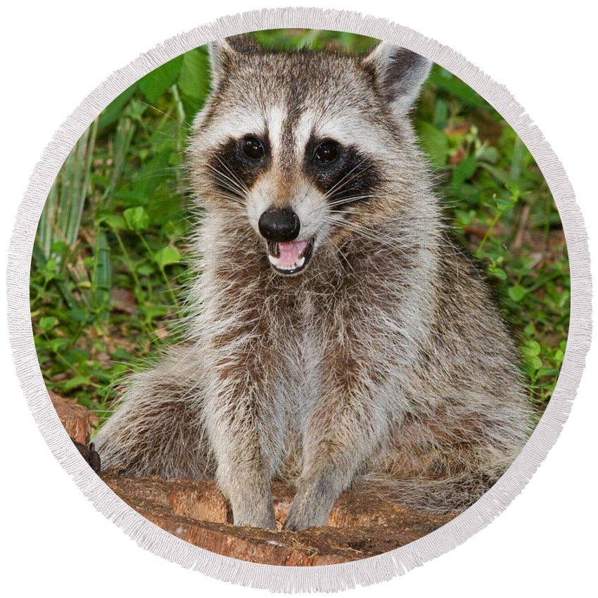 Fauna Round Beach Towel featuring the photograph Raccoon by Millard H. Sharp