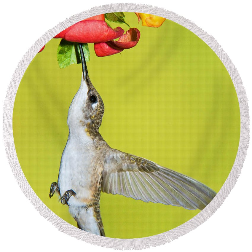 Nature Round Beach Towel featuring the photograph Ruby-throated Hummingbird Female by Millard H Sharp