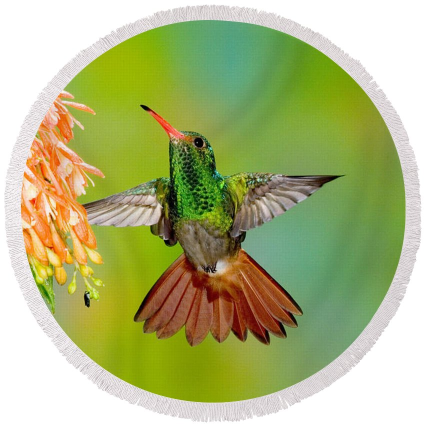 Fauna Round Beach Towel featuring the photograph Rufous-tailed Hummingbird by Anthony Mercieca