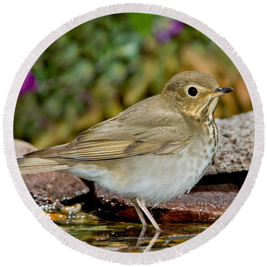Fauna Round Beach Towel featuring the photograph Swainsons Thrush by Anthony Mercieca