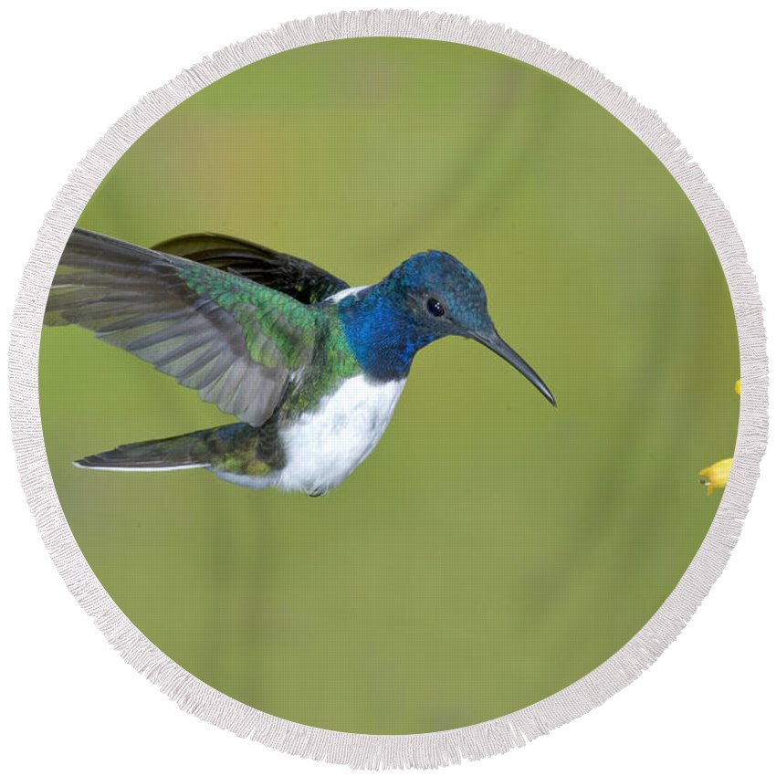 Animal Round Beach Towel featuring the photograph White-necked Jacobin by Anthony Mercieca