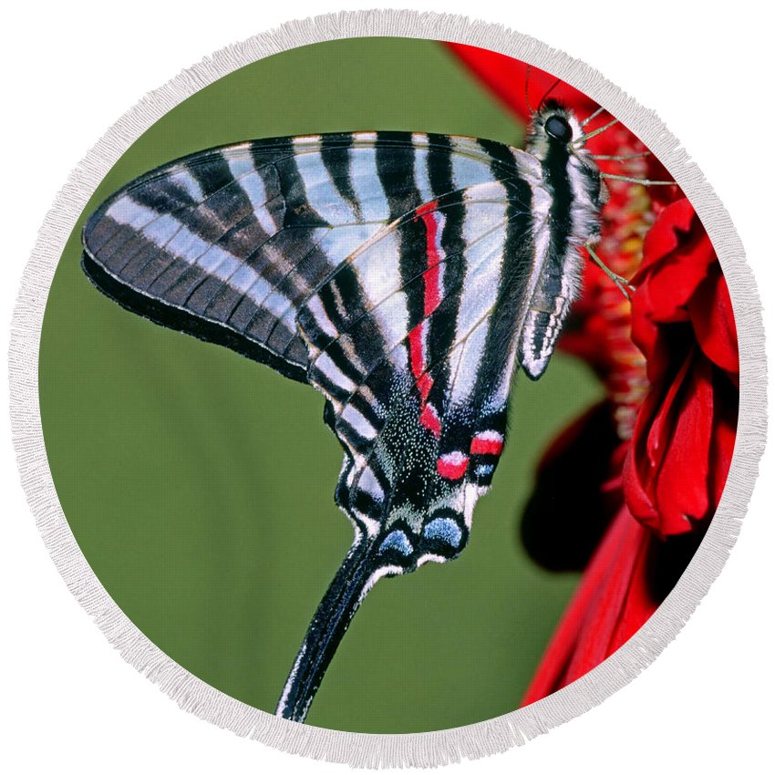 Kite Swallowtails Round Beach Towel featuring the photograph Zebra Swallowtail Butterfly by Millard H. Sharp