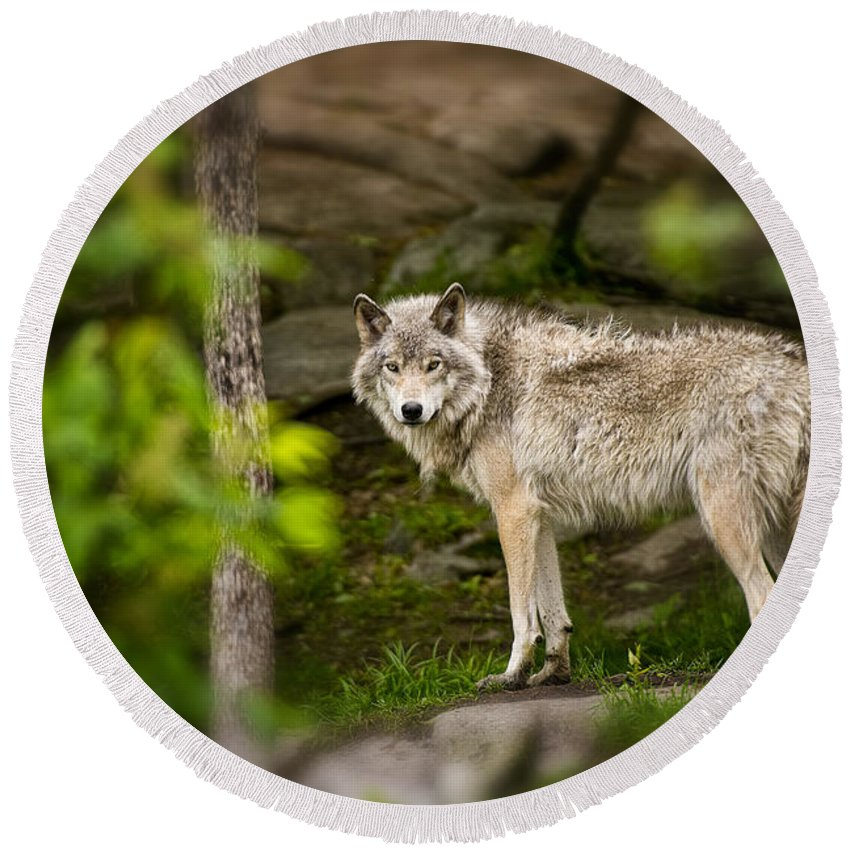 Timber Wolf Photography Round Beach Towel featuring the photograph Timber Wolf by Wolves Only