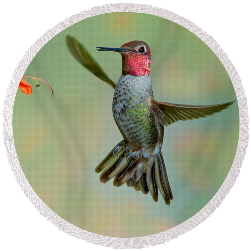 Animal Round Beach Towel featuring the photograph Annas Hummingbird by Anthony Mercieca