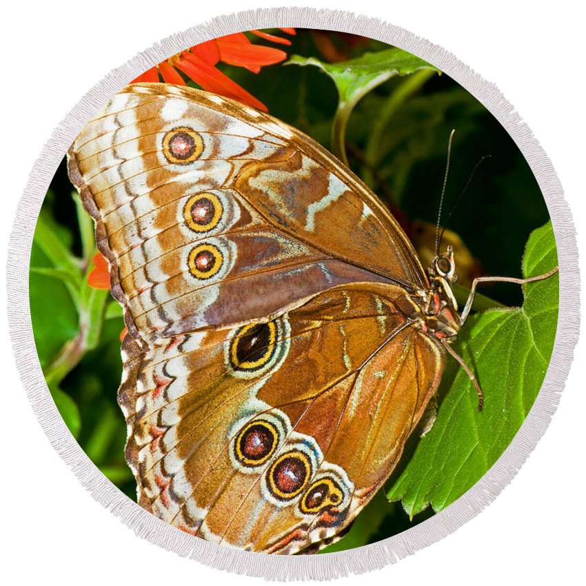 Fauna Round Beach Towel featuring the photograph Blue Morpho Butterfly by Millard H. Sharp