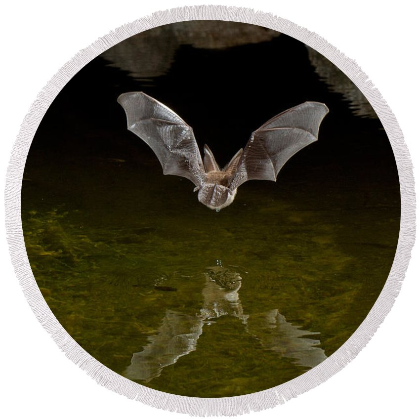 Animal Round Beach Towel featuring the photograph California Leaf-nosed Bat At Pond by Anthony Mercieca