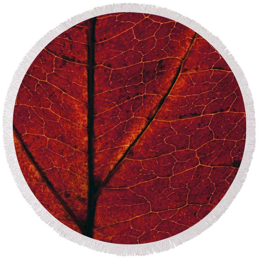Pacific Dogwood Round Beach Towel featuring the photograph Dogwood Leaf Backlit by Jim Corwin