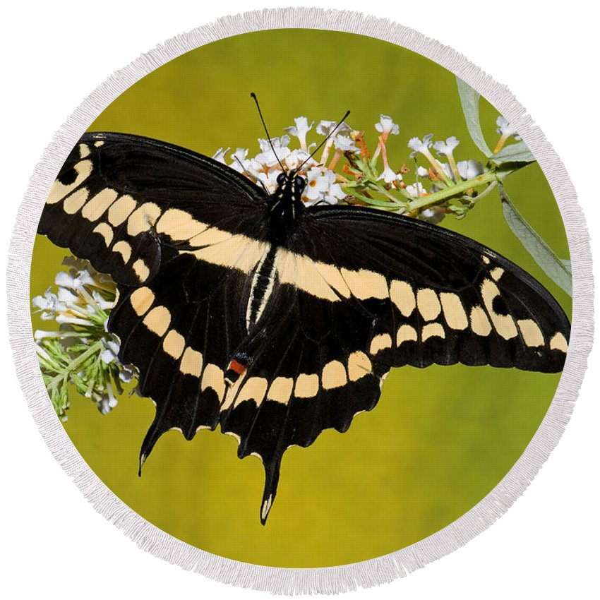 Nature Round Beach Towel featuring the photograph Giant Swallowtail Butterfly by Millard H. Sharp