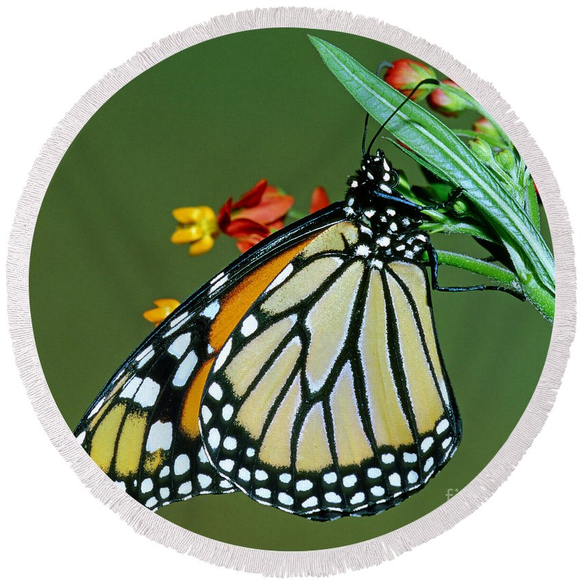 Monarch Butterfly Round Beach Towel featuring the photograph Monarch Butterfly by Millard H. Sharp