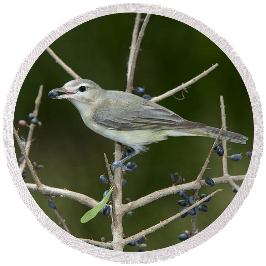 Warbling Vireo Round Beach Towel featuring the photograph Warbling Vireo by Anthony Mercieca