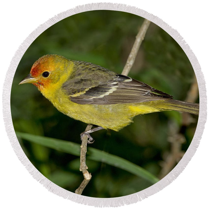 Western Tanager Round Beach Towel featuring the photograph Western Tanager by Anthony Mercieca