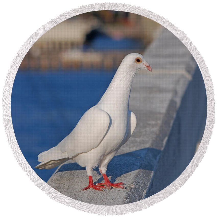 White Dove Round Beach Towel featuring the photograph 21- White Dove by Joseph Keane