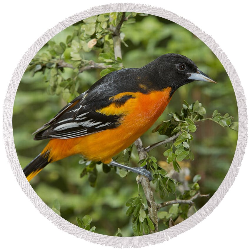 Baltimore Oriole Round Beach Towel featuring the photograph Baltimore Oriole by Anthony Mercieca