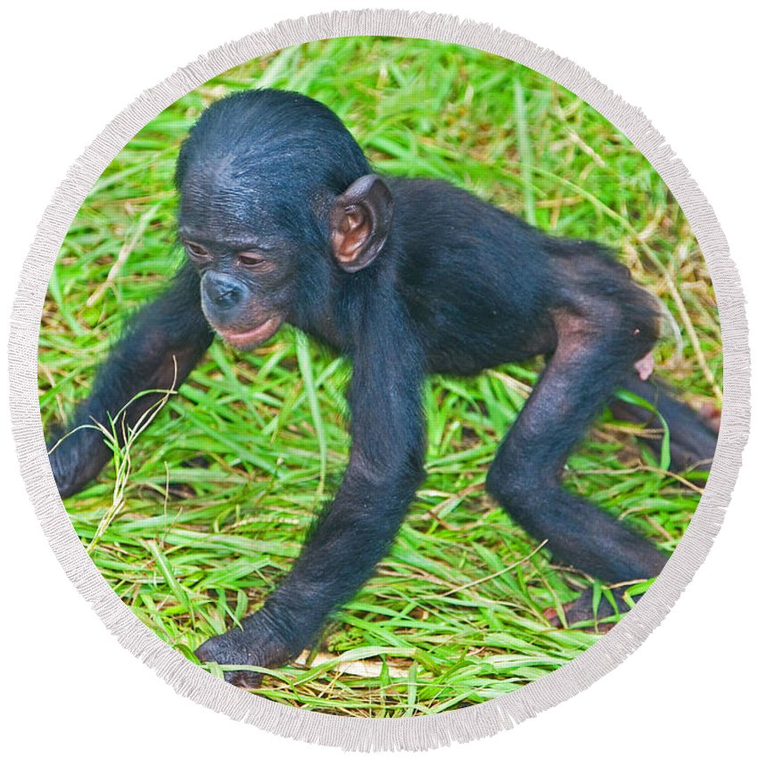Nature Round Beach Towel featuring the photograph Bonobo Baby by Millard H. Sharp