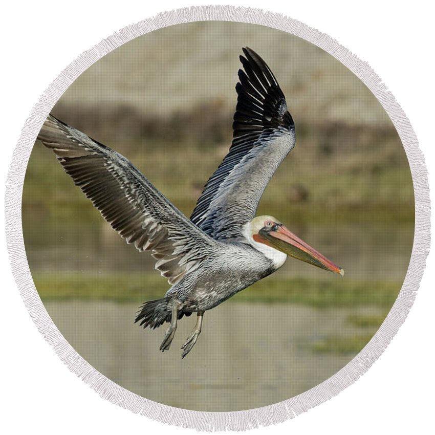 Brown Pelican Round Beach Towel featuring the photograph Brown Pelican by Anthony Mercieca