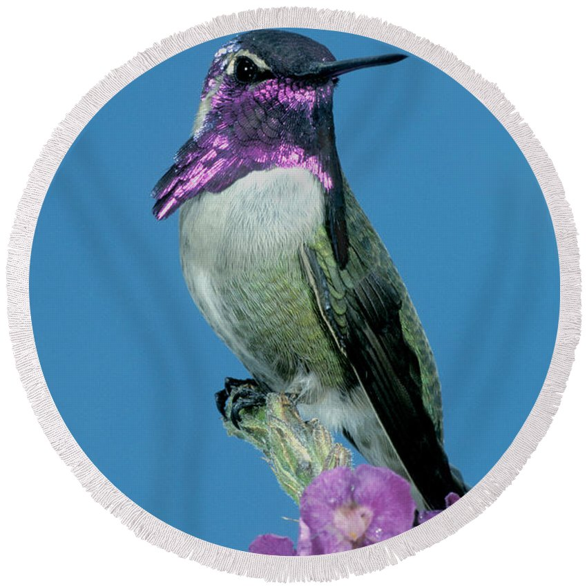 Fauna Round Beach Towel featuring the photograph Costas Hummingbird by Anthony Mercieca
