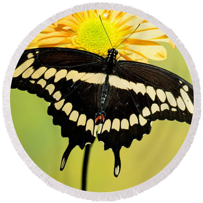 Giant Swallowtail Butterfly Round Beach Towel featuring the photograph Giant Swallowtail Butterfly by Millard H. Sharp