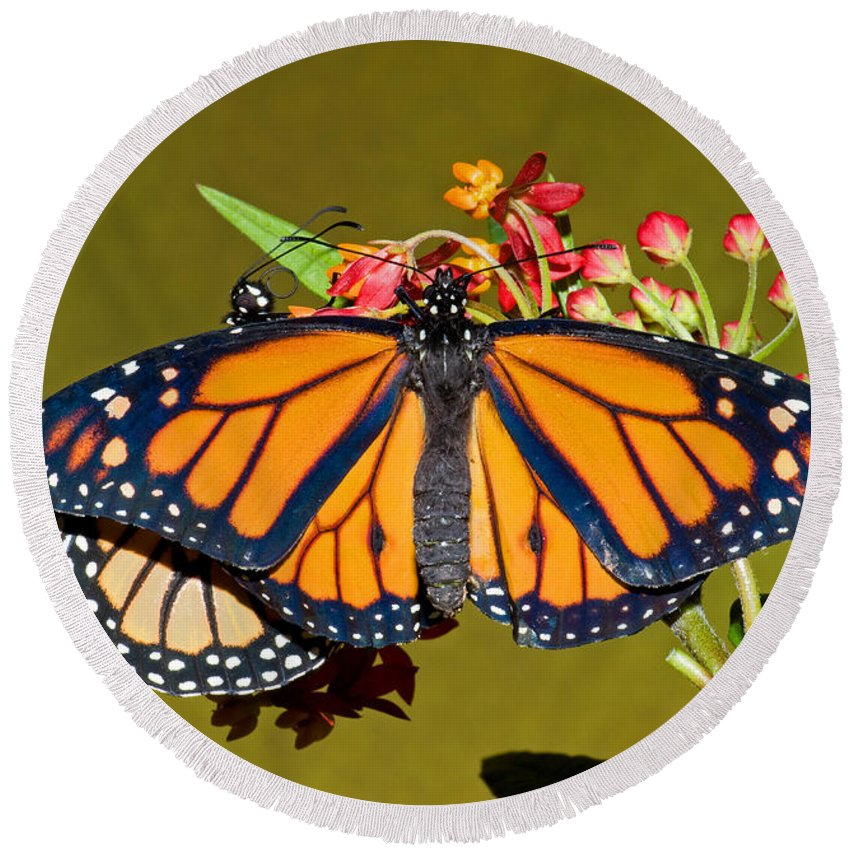 Animal Round Beach Towel featuring the photograph Monarch Butterfly by Millard H. Sharp