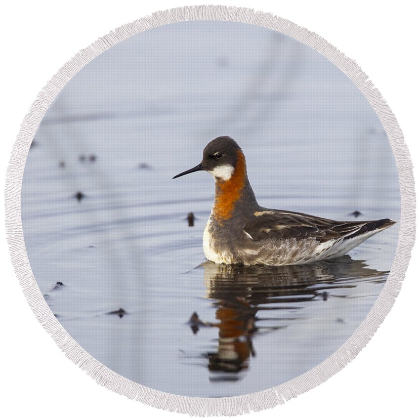 Doug Lloyd Round Beach Towel featuring the photograph Rednecked Phalarope by Doug Lloyd