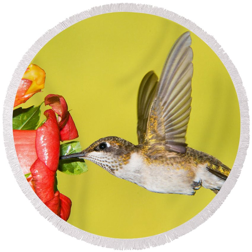 Nature Round Beach Towel featuring the photograph Ruby-throated Hummingbird Female by Millard H. Sharp