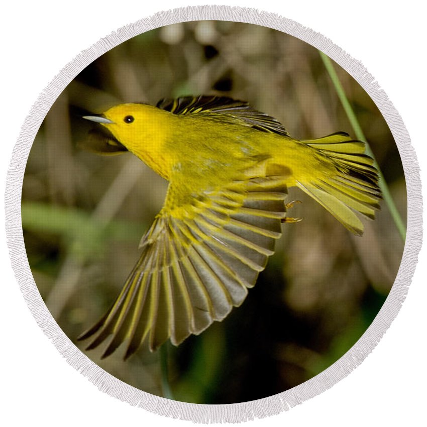 Yellow Warbler Round Beach Towel featuring the photograph Yellow Warbler by Anthony Mercieca