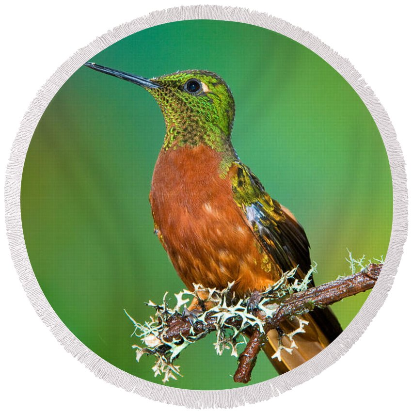 Animal Round Beach Towel featuring the photograph Chestnut-breasted Coronet by Anthony Mercieca