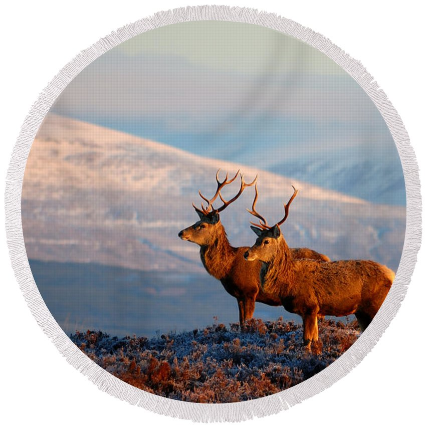Stags In Snow Round Beach Towel featuring the photograph Red Deer Stags by Gavin Macrae