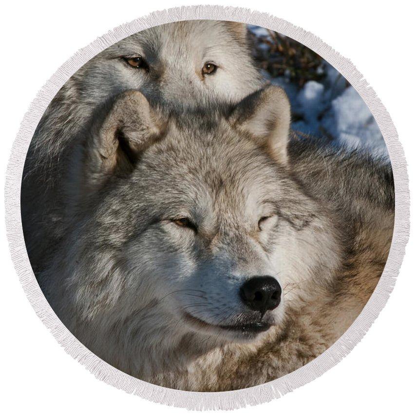 Arctic Wolf Photography Round Beach Towel featuring the photograph Arctic Wolves by Wolves Only