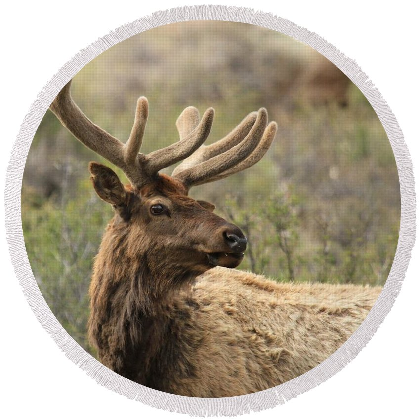 Rocky Mountain National Park Round Beach Towel featuring the photograph A Beautiful Young Rack by Adam Jewell