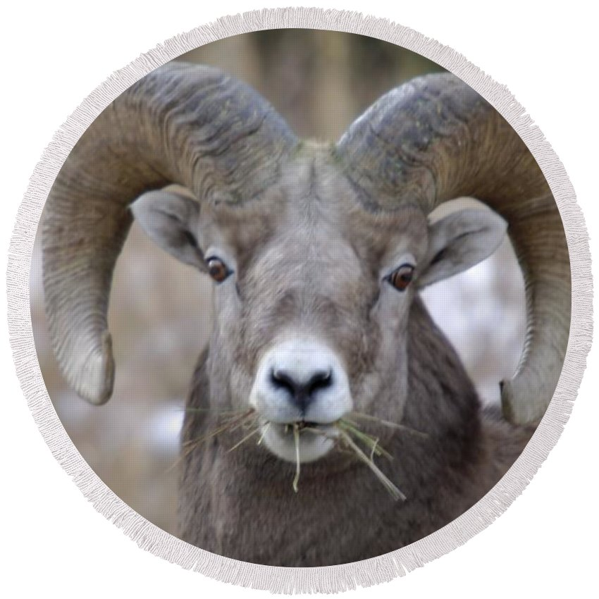 Animals Round Beach Towel featuring the photograph A Big Ram Caught With His Mouth Full by Jeff Swan