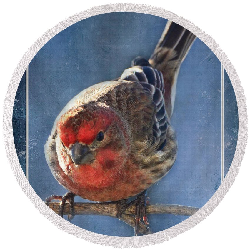 Nature Round Beach Towel featuring the photograph A Blue Morning Housefinch by Debbie Portwood