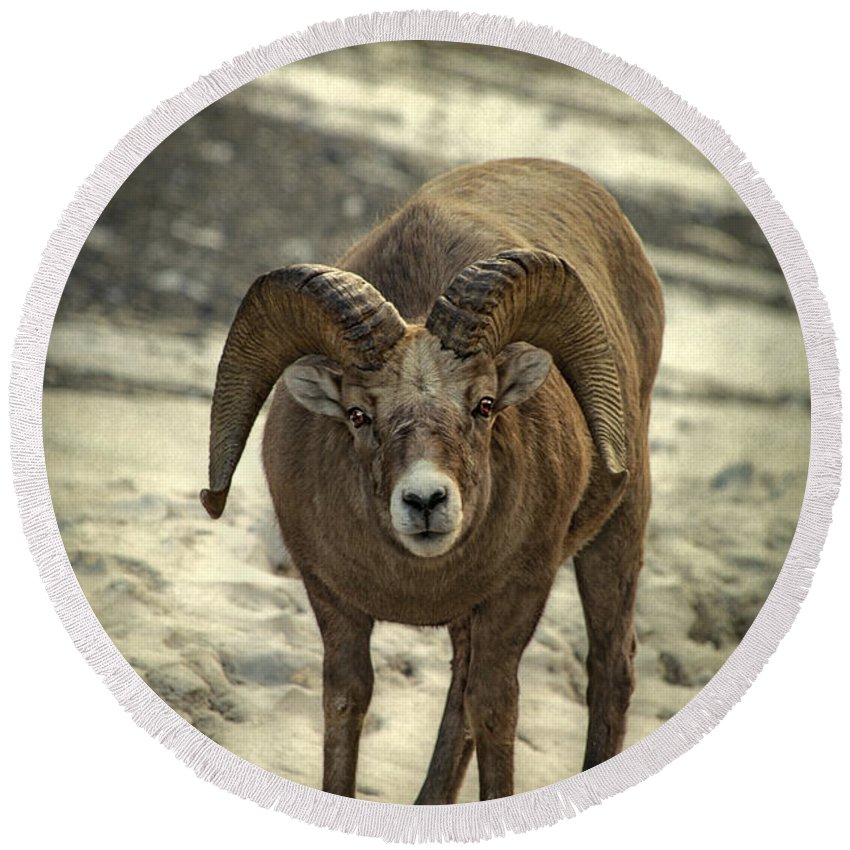 Rocky Mountain Bighorn Sheep Beach Products