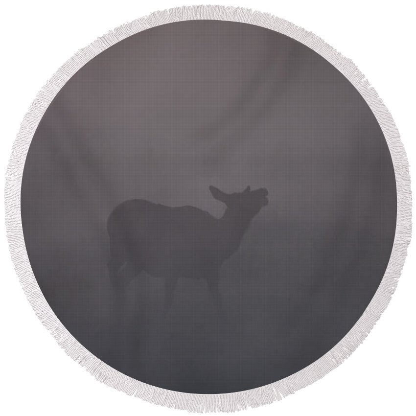 Cow Round Beach Towel featuring the photograph A Cow Elk Calls In The Early Morning Mist by Gary Langley