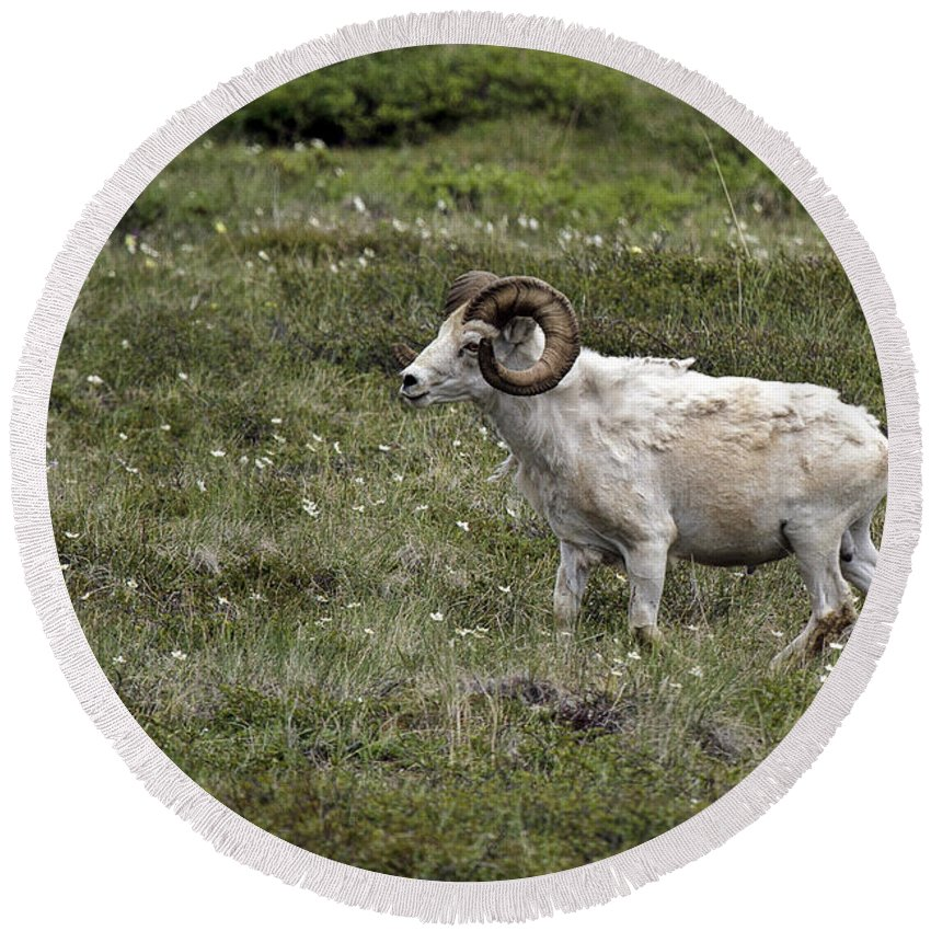 A Dall Ram's Curl Round Beach Towel featuring the photograph A Dall Ram's Curl by Wes and Dotty Weber