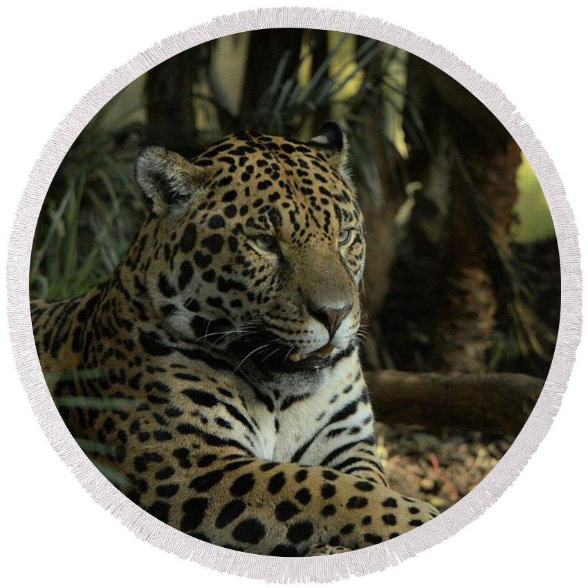 Big Cat Round Beach Towel featuring the photograph A Jaguar's Gaze by Mickey At Rawshutterbug