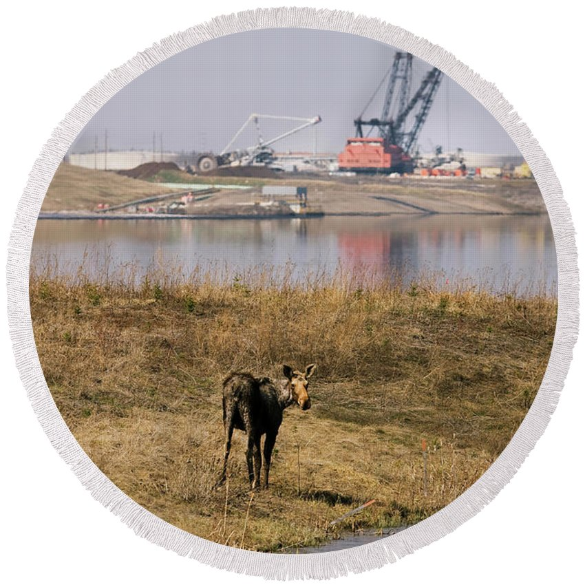 Alberta Round Beach Towel featuring the photograph A Moose Walks On The On Reclaimed Land by Todd Korol