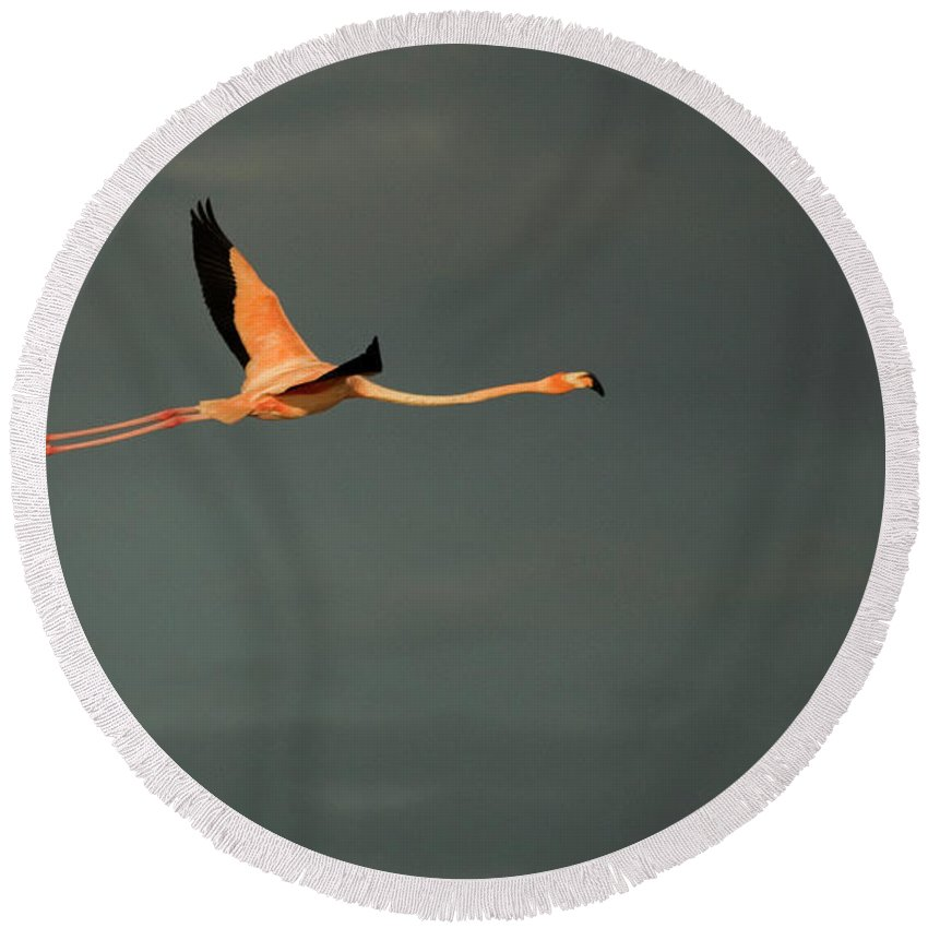 Animal Themes Round Beach Towel featuring the photograph A Pink Flamingo Flies In Celestun by Chico Sanchez