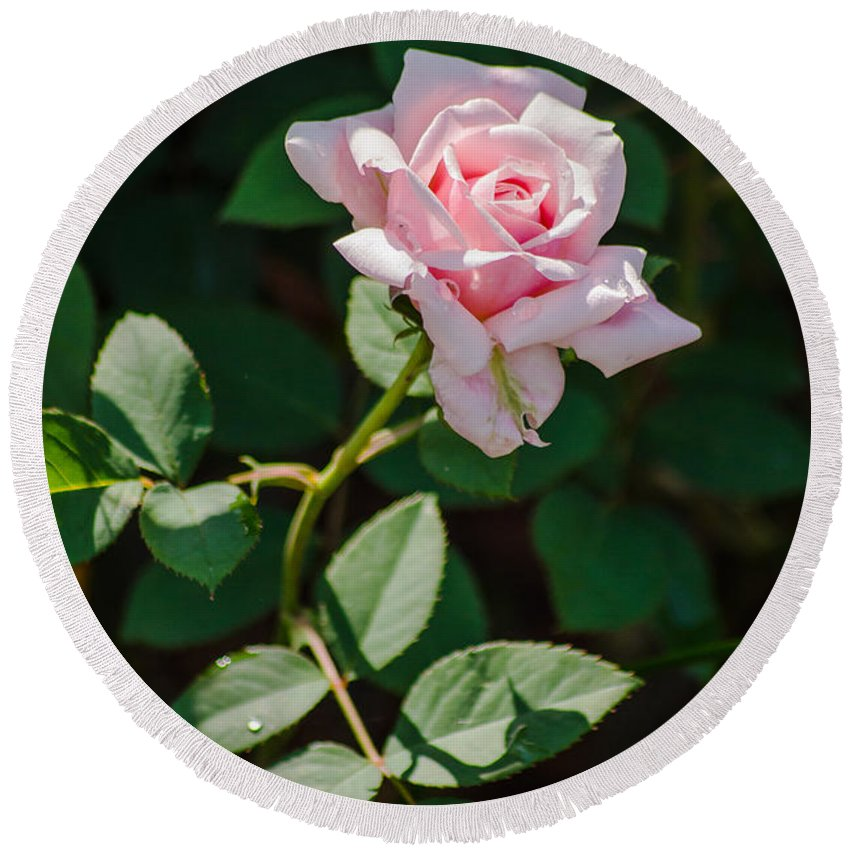 Dallas Round Beach Towel featuring the photograph A Rose Is A Rose by Allen Sheffield