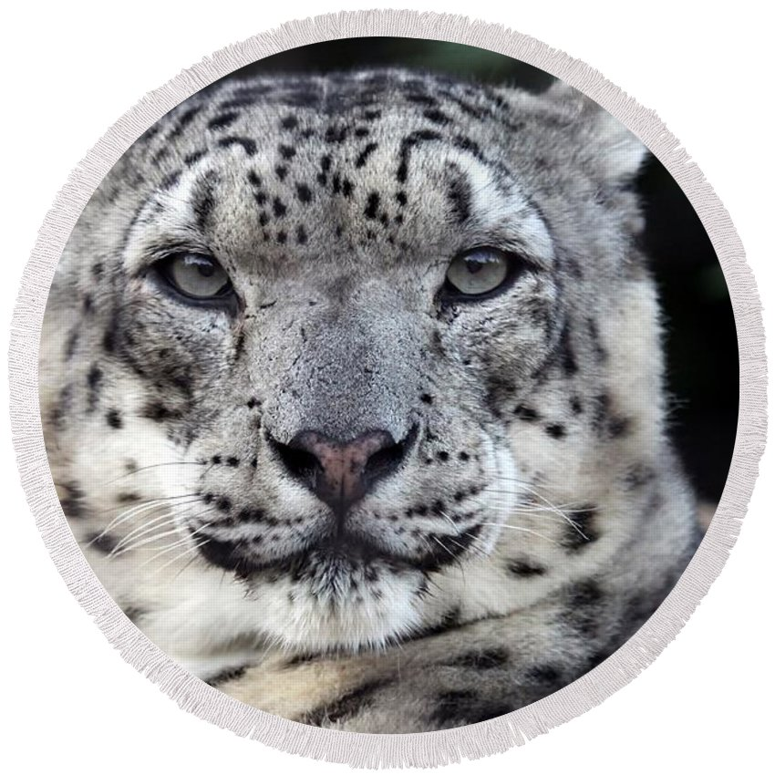 Snow Leopard Round Beach Towel featuring the photograph A Snow Leopards Gaze by Christopher Miles Carter