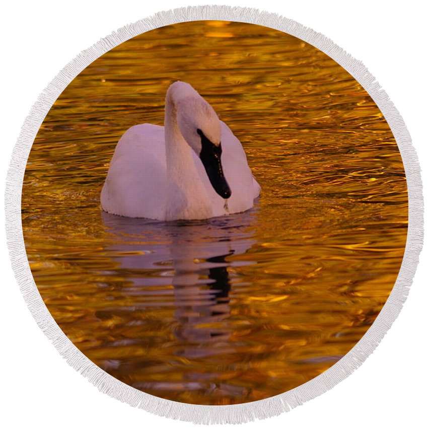 Swan Round Beach Towel featuring the photograph A Swan On Golden Waters by Jeff Swan