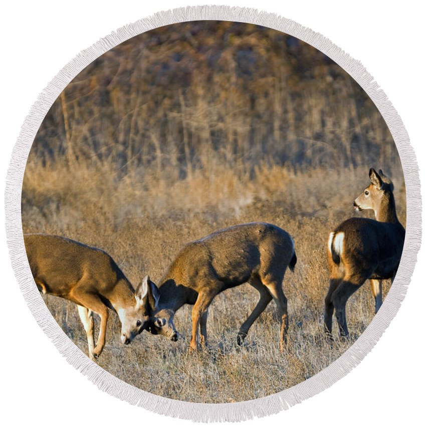 Deer Round Beach Towel featuring the photograph A Test Of Will by Mike Dawson