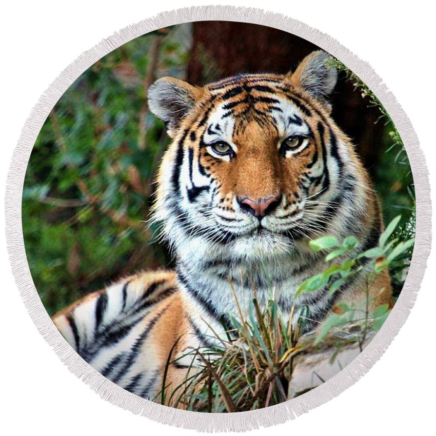 Amur Tiger Round Beach Towel featuring the photograph A Tigers Glance by Christopher Miles Carter