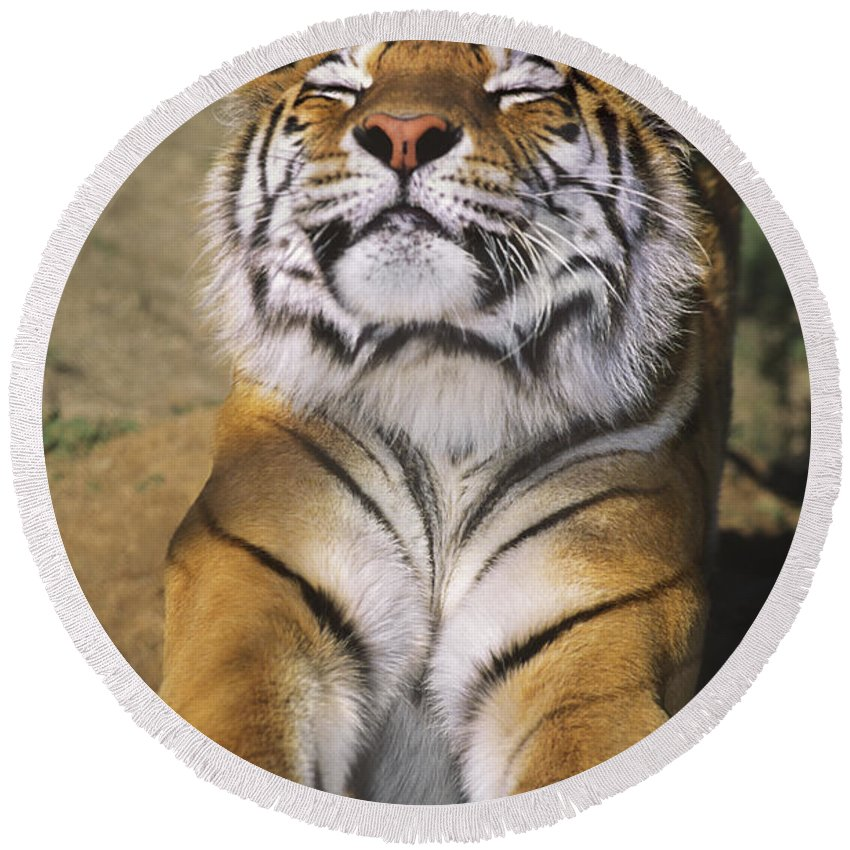 Siberian Tiger Round Beach Towel featuring the photograph A Tough Day Siberian Tiger Endangered Species Wildlife Rescue by Dave Welling