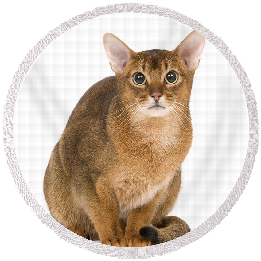 Cat Round Beach Towel featuring the photograph Abyssinian Cat by Jean-Michel Labat